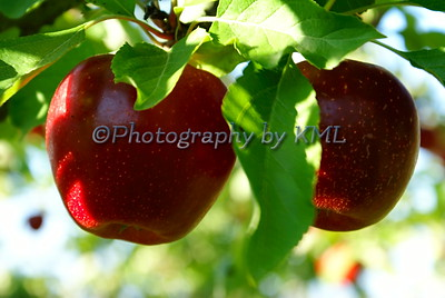 two red apples hanging in a tree