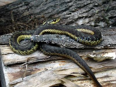 garden snake on a log