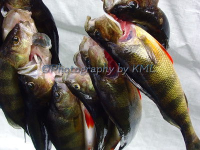 a string of yellow perch fish
