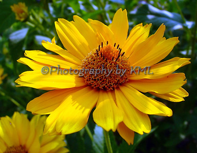 macro of a yellow daisy flower