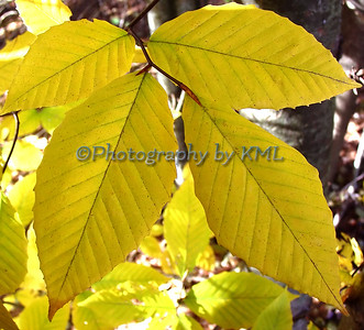 yellow ash leaves in the autumn