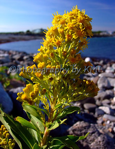 yellow goldenrod wild flower beside the ocean