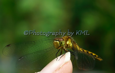 a dragonfly perched on a finger