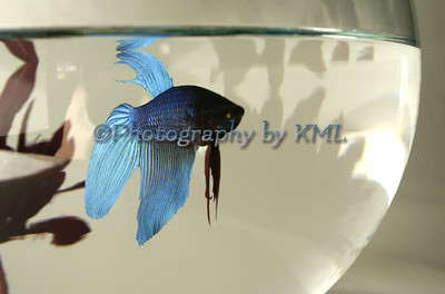 a blue betta fish in a bowl