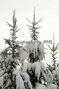 snow covered pines in the winter