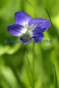 a violet with a shallow depth of field