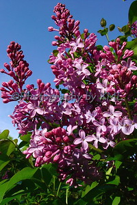 purple lilacs against a blue sky