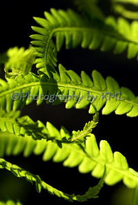 Macro of fern fronds