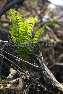 young fiddlehead ferns unfurled