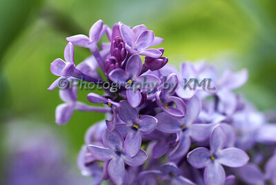 Purple Lilacs in the Spring