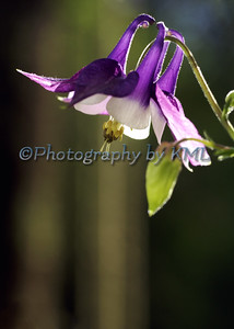 macro of back lit purple columbine