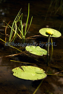 three lily pads with a lily bud