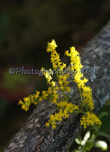 yellow goldenrod wild flower in the summer