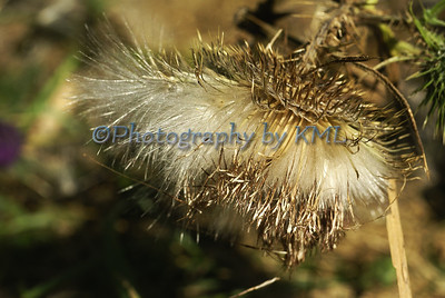 dried thistle flower gone to seed