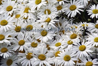 a bunch of white daisies with yellow centers