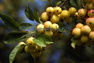yellow berries in the autumn