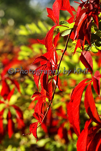 vivid red leaves on a vine in the autumn