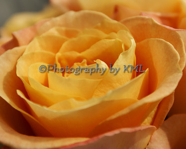 the center of a peach colored rose