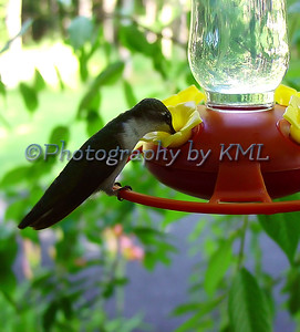 female hummingbird perched on a feeder