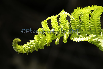 a green furled fern in the spring