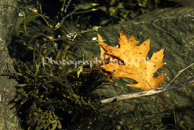 an oak leaf floating in the ocean beside some seaweed