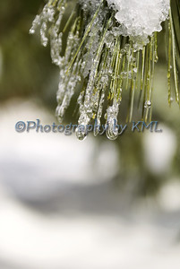 ice and snow on the pine needles