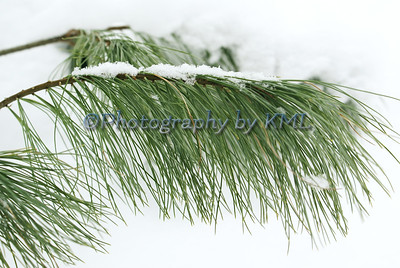 fine snow on the pine needles